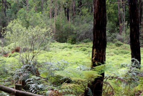 Shows the bright green sea of scrambling coral fern, Edward Hunter Heritage Bush Reserve