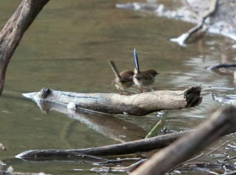 Shows male and female superb fairy wrens, perched on branch in water, Edward Hunter Heritage Bush Reserve