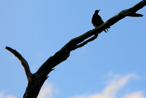 Shows male magpie in tree branch, just after morning chorus, Edward Hunter Heritage Bush Reserve