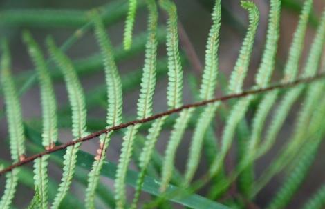 Shows under surface of scrambling coral fern, Edward Hunter Heritage Bush Reserve