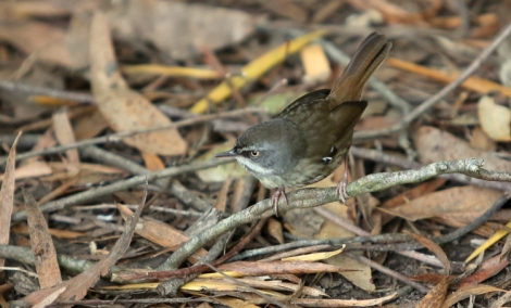 Shows white-browed scrubwren, Edward Hunter Heritage Bush Reserve