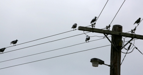 Shows group of magpies perched on power lines, in the urban environment, not far from Edward Hunter Heritage Bush Reserve