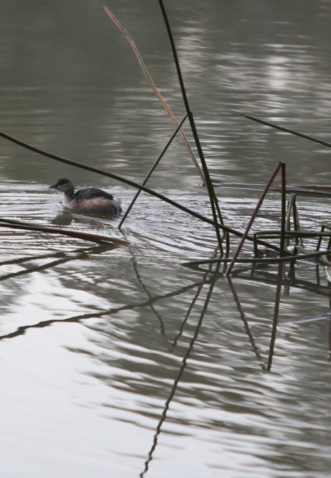 Shows australasian grebe in winter plumage, Edward Hunter Heritage Bush Reserve