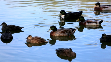 Shows a group of pacific black ducks and northen mallards, Edward Hunter Heritage Bush Reserve, reservoir