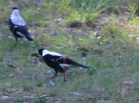 Shows male magpie bounding forward with grub, Edward Hunter Heritage Bush Reserve