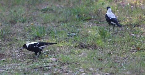Shows male magpie, bent forward, listening for grubs, Edward Hunter Heritage Bush Reserve