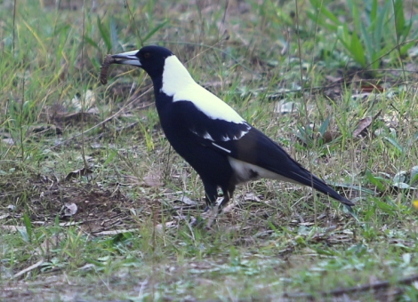 shows male magpie with fat caterpillar, Edward Hunter Heritage Bush Reserve