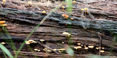 Shows Hypholoma fasciculare fungi and others growing on fallen log, Edward Hunter Heritage Bush Reserve