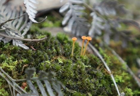 Shows three tiny orange mushrooms against moss, Edward Hunter Heritage Bush Reserve