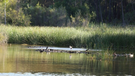 View of rushes, summertime, with Australian white ibis, plovers and water birds