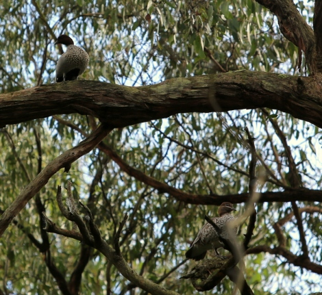 Shows couple of wood ducks in eucalypt around reservoir, Edward Hunter Heritage Bush Reserve