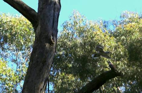 Shows pair kookaburras, taking turns checking out potential tree hollow, Edward Hunter Heritage Bush Reserve