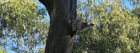 Shows Kookaburra checking out tree hollow, late June, Edward Hunter Heritage Bush Reserve