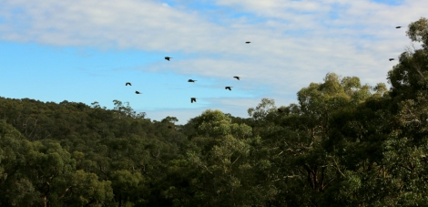 Shows a flock of green parrots flying over the trees in the last bright days of June, Edward Hunter Heritage Bush Reserve.