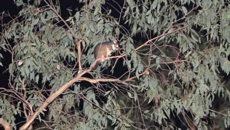 Shows a ringtail possum in a gum, spotlit during the owling survey at the Edward Hunter Heritage Bush Reserve at Moe