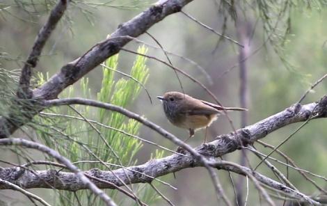 Shows brown thornbill on branch of cherry ballart, Edward Hunter Heritage Bush Reserve