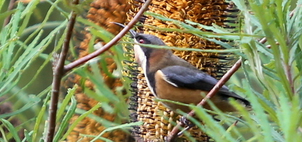Shows eastern spinebill with flowering banksia spinulosa, Edward Hunter Heritage Bush Reserve