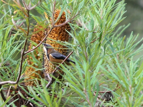 Shows Eastern spinebill with banksia spinulosa, June, Edward Hunter Heritage Bush Reserve