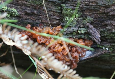Shows Jelly fungus: Tremella fimbriata group; Edward Hunter Heritage Bush Reserve