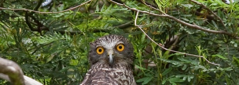 Shows head of powerful owl