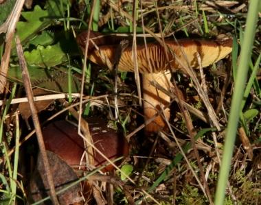 Shows possible Cortinarius sp., Edward Hunter Heritage Bush Reserve