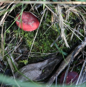 Shows Russula persanguinea, Edward Hunter Heritage Bush Reserve