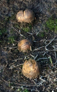 "Shows puffball, Pisolithus albus, ""Horse Dung Fungus"", Edward Hunter Heritage Bush Reserve"