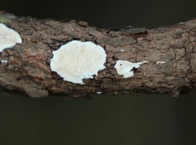 Shows Byssomerulius corium, Edward Hunter Heritage Bush Reserve