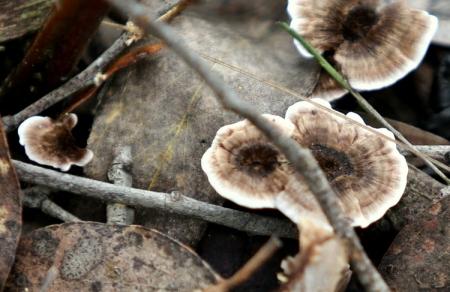 Shows Hydnellum species , Edward Hunter Heritage Bush Reserve