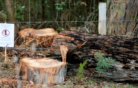Shows felled eucalypt