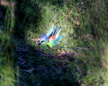 Shows couple of squabbling (or mating) Eastern rosellas hitting the ground, Edward Hunter Heritage Bush Reserve