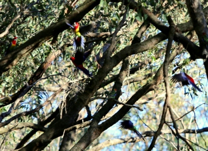 Shows crimson rosella seeing off eastern rosellas, end of July, Edward Hunter Heritage Bush Reserve