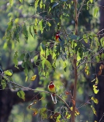 Shows two Eastern rosellas, Edward Hunter Heritage Bush Reserve