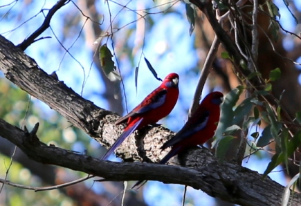Pair crimson rosellas, Edward Hunter Heritage Bush Reserve