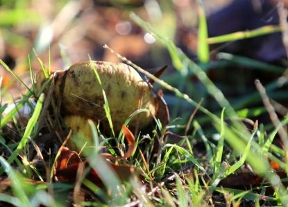 Shows Phlebopus marginatus; ; Edward Hunter Heritage Bush Reserve