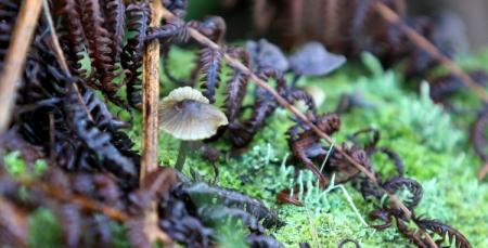 Shows Termitomyces striatus, Edward Hunter Heritage Bush Reserve