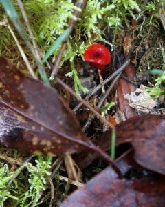 Shows possible Hygrocybe, Edward Hunter Heritage Bush Reserve