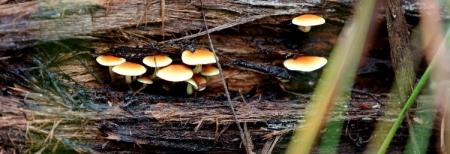 Shows Hypholoma fasciculare, Edward Hunter Heritage Bush Reserve