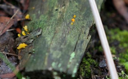 Shows Calocera sinensis group, Edward Hunter Heritage Bush Reserve
