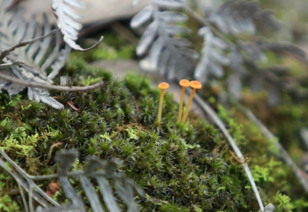 Shows Rickenella fibula, Edward Hunter Heritage Bush Reserve