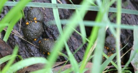Shows Cheilymenia raripila on herbivore dung, Edward Hunter Heritage Bush Reserve
