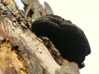 Shows Phellinus sp., Edward Hunter Heritage Bush Reserve