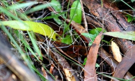 Shows rhizomorphs associated with mycena cystidiosa, Edward Hunter Heritage Bush Reserve