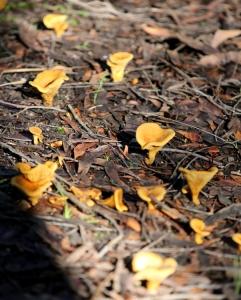 Shows Austropaxillus infundibuliformis (chanterelle), Edward Hunter Heritage Bush Reserve