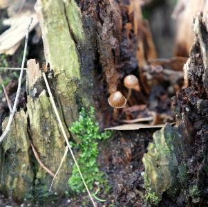 Shows Coprinus disseminatus, Edward Hunter Heritage Bush Reserve