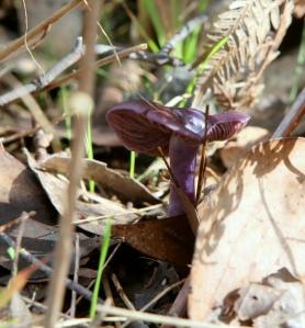 Shows Cortinarius species aff.violaceus, Edward Hunter Heritage Bush Reserve