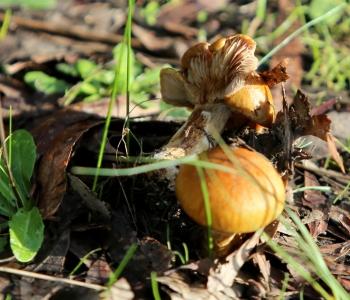 Shows Cortinarius sp., Edward Hunter Heritage Bush Reserve
