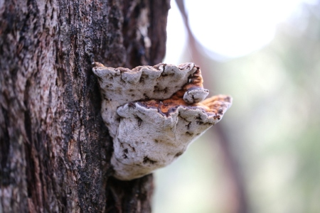 Shows polypore bracket, growing on living eucalypt, Edward Hunter Heritage Bush Reserve