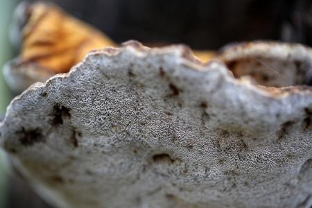Shows underside of polypore bracket, growing on living eucalypt, Edward Hunter Heritage Bush Reserve