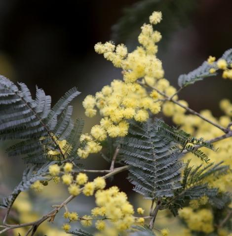 Shows Acacia dealbata, Edward Hunter Heritage Bush Reserve